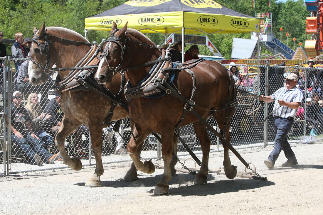 Horse Pull at the Schomberg Fair
