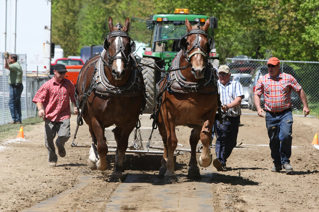 Horse Pull at Schomberg Fair