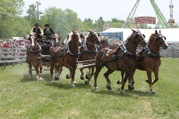 North America Six Horse Hitch at Schomberg Fair