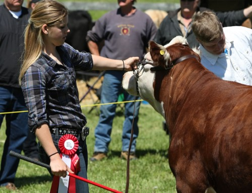 Beef Cattle Show