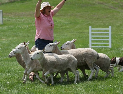 Sheep Herding Demo